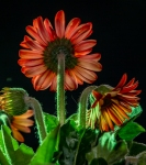 Judith Taylor - The gerbera look - Projim - C