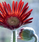 Judith Taylor - The hairy gerbera - Projim - C